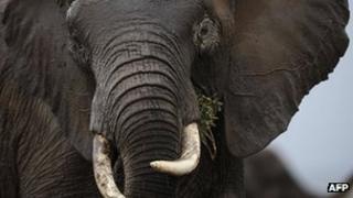 Elephant in Kenya (file image)