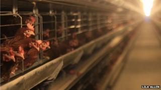 Chickens at Lukasz Serwatko's farm in Chromakowo, Poland