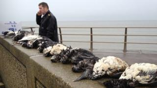 Dead birds lined up on a sea wall