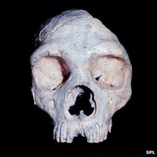 Gibraltar Neanderthal skull