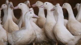 Gressingham ducks