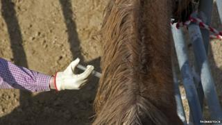 Horse receiving injection