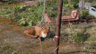 Urban fox in allotment