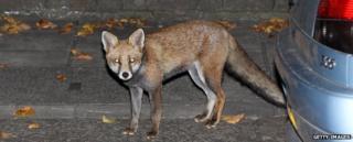 Fox beside a parked car