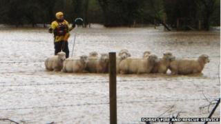 Sheep being rescued from floodwater