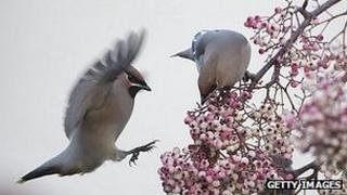 Waxwings on a rowan tree in UK