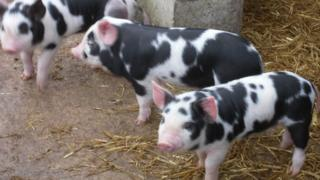 The three pigs to be reared by Peasenhall Primary School pupils