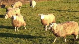 Sheep on the Corsham Park estate