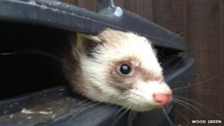 Ferret found in wheelie bin in Waterbeach, Cambridgeshire