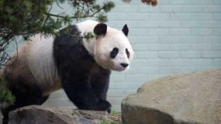 "Male panda Yang Guang has been doing ""handstands"""