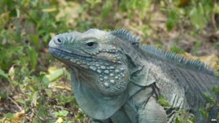 Blue iguana more