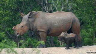 Rhino de horned