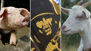 Pig, target, goat
