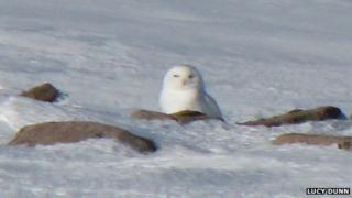 Snowy owl in Cairngorms