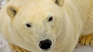 Pelts and other body parts are exported from bears hunted in the Canadian Arctic