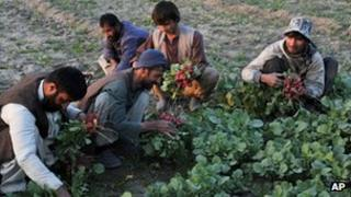Farmers work in a field in Jalalabad, in Afghanistan
