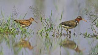 Greater painted snipe (Rostratula benghalenis) (Image: Nature)