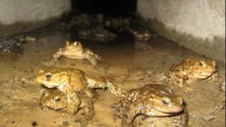 The new toad tunnels