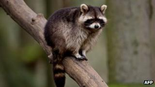 A raccoon is seen in its enclosure at the Schwarze Berge wildlife park in Hamburg, northern German 28 February 2013