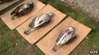 Poisoned goshawks. Pic: RSPB