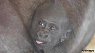 The infant gorilla was born in January