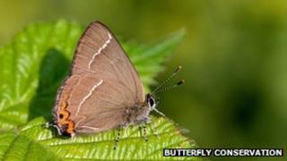 White-letter Hairstreak butterfly