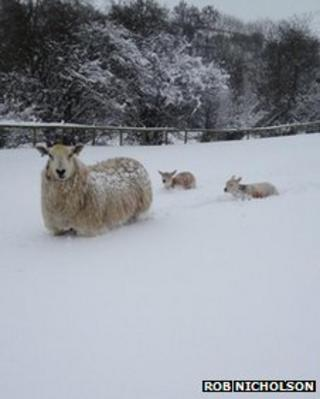 Lambs chest deep in snow at Cannon Hall Farm in Barnsley