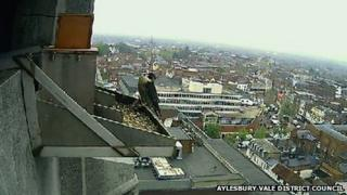 One of a pair of peregrine falcons, County Hall, Aylesbury