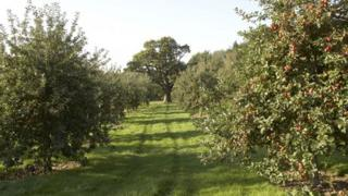 Herefordshire orchard