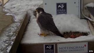Female peregrine falcon with her three eggs