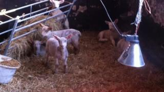 Acton Hall lambs, Suffolk