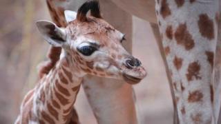 Millie the giraffe