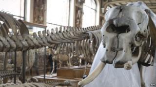 Elephant with missing tusk