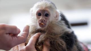 Justin Bieber's pet monkey, Mally, at customs in Munich airport.