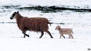 Lamb and sheep in snowy field
