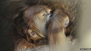 Jantho the orangutan