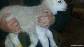 Quinto the lamb, which was born with five legs.