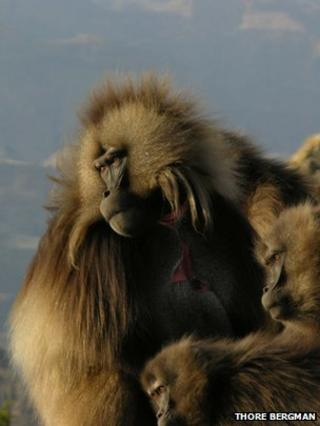 Primate call gives clues to human speech origins