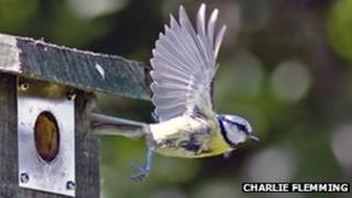 Blue tit leaves its nest box
