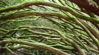 Rhododendron branches