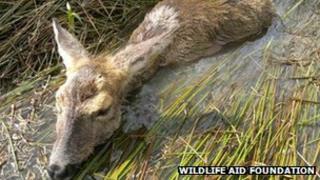 Injured deer in pond