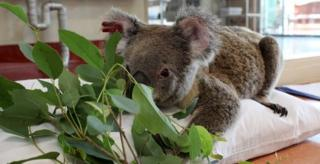 A koala called Penny wakes up from a mild anaesthetic and is offered a meal of eucalyptus leaves at the Australia Zoo Wildlife Hospital