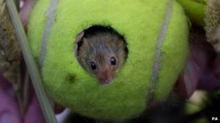 A harvest mouse in a Wimbledon tennis ball in Bristol in 2001