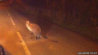 Wallaby near Winmarleigh