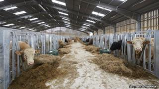 Bull farm at Inverness