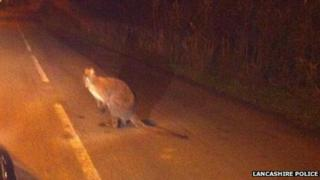 Picture of wallaby spotted in Lancashire.