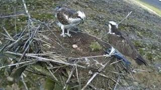 Ospreys in nest with eggs