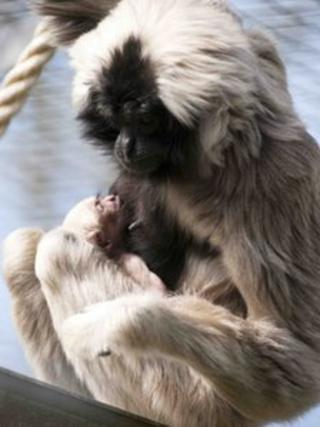 Mother and baby Pileated Gibbon at Blackpool Zoo