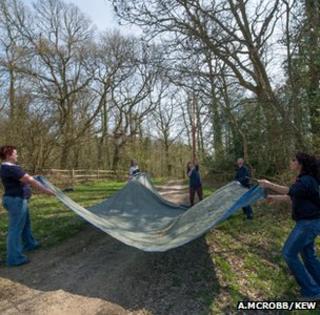 Kew staff collecting ash seeds (Image: Andrew McRobb/Kew)