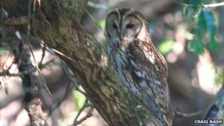 The tawny owl in Castleward estate